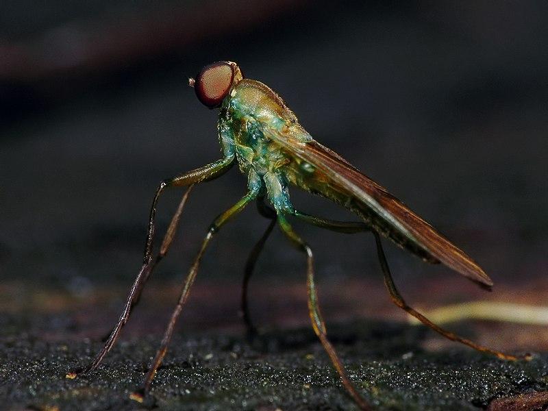 File:Stratiomyidae, Chiromyza, PE Carlos Botelho, São Paulo.jpg