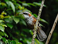 Streak-breasted Scimitar Babbler 4625.jpg