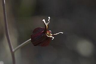 <i>Streptanthus niger</i>