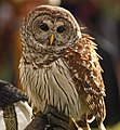Strix varia -Arizona Renaissance Festival, Apache Junction, Arizona, USA -falconry-8a.jpg