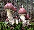 Stropharia hornemannii (Fr.) S. Lundell & Nannf 852417.jpg
