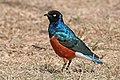 Superb starling (Lamprotornis superbus).jpg