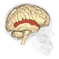 Superior temporal gyrus lateral.png