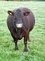 Sussex cow front.JPG