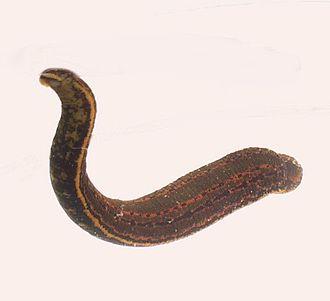 Leech - Hirudo medicinalis