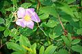 Swamp Rose (Rosa palustris) (19813214854).jpg