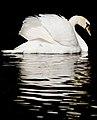 Swan (4611542861).jpg