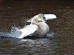 File:Swan bathing 101857499.jpg