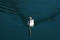Swan on Stausee Klaus.jpg