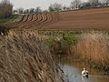 Swan with ploughed furrows - geograph.org.uk - 377452.jpg