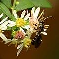 Sweat Bee (31172024456).jpg