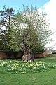 Sweet chestnut, Woodstock, Oxfordshire - geograph.org.uk - 1250822.jpg