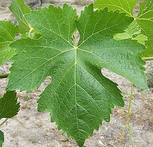 Syrah - Syrah leaf