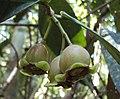 Syzygium Munronii 19.JPG