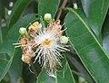 Syzygium hemisphericum 15.jpg