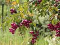 Syzygium jambos-IMG 8746.JPG