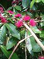 Syzygium malaccense BotGardBln07122011G.JPG