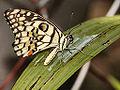 TS006 Papilio demoleus.jpg