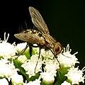 Tachinid Fly (31710323141).jpg