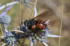 Tachinid fly (Peleteria varia) Macedonia.jpg