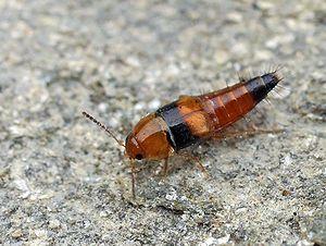 Rove beetle - Image: Tachyporus obtusus 01