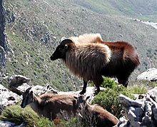 220px-Tahr_Devils_Peak_2004.jpg
