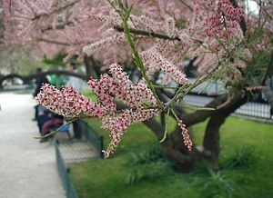 Tamarix-pentandra-flowers