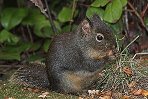 Douglas squirrel - Image: Tamiasciurus douglasii 4435