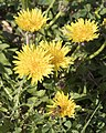 Taraxacum officinale - Common dandelion 01.jpg