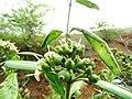 Tarenna asiatica - Asiatic Tarenna 17.jpg