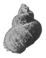 Teratobaikalia macrostoma shell 3.png