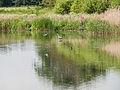 Tern and heron (14397836403).jpg
