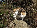Territorial cat - geograph.org.uk - 686552.jpg
