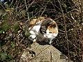 Territorial cat - geograph.org.uk - 686552.jpg