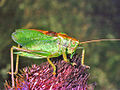 Tettigoniidae - Tettigonia cantans-3.jpg