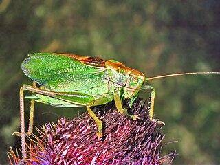 <i>Tettigonia cantans</i> species of insect