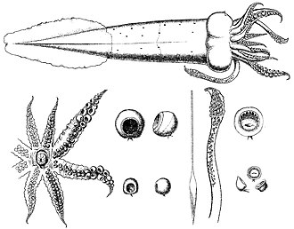 William Evans Hoyle -  Drawings of Teuthowenia megalops by Hoyle
