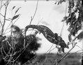 Text, Neg. 13731 Kaudern 1912, Majunga (Kameleont?) Bild 21733 . Mahajanga. Madagaskar - SMVK - 021733.tif