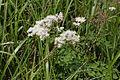 Thalictrum aquilegifolium 09.jpg