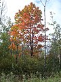 The Big Maple (4998897050).jpg