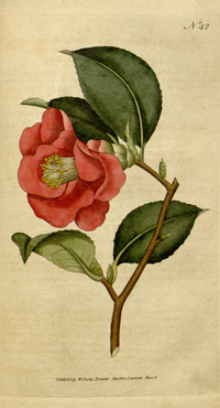 The Botanical Magazine, Plate 42 (Volume 2, 1788).png