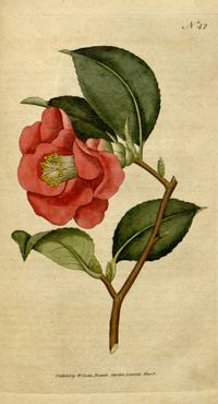 《植物學雜誌》(1788)Camellia japonica