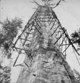 The Mother of the Forest ; 305 feet high ; 63 feet circumference - near view, Calaveras County, by Lawrence & Houseworth - left.png
