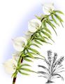The Orchid Album-01-0125-0041-Angraecum eburneum-crop.png