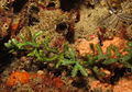 The green seaweed, Caulerpa serrulata, at Ponta do Ouro, Mozambique (6661104601).jpg