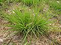 Themeda triandra plant8 (9604124220).jpg