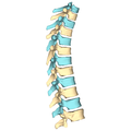 Thoracic vertebrae - lateral view2.png