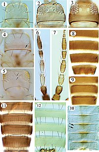 Thripinae (Thysanoptera) of Malaysia (10.3897-zookeys.810.28457) Figures 1–12.jpg