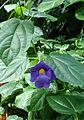 Thunbergia battiscombei kz3.jpg