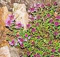 Thymus serpyllum in Aveyron (2).jpg